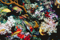 : Anthias squamipinnis; Butterfly Perch;