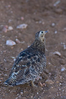 : Pterocles gutturalis saturatior; Yellow Throated Sandgrouse