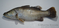 : Lates calcarifer; Barramundi