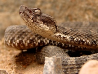 : Bothrops pictus