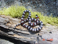 : Lampropeltis zonata multicincta; Sierra Mountain Kingsnake
