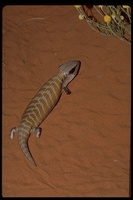 : Tiliqua multifasciata; Centralian Blue-tongued Lizard
