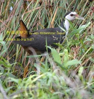 흰배뜸부기White-breasted Waterhen