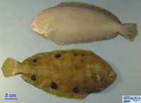 Dicologlossa hexophthalma, Ocellated wedge sole: fisheries
