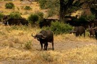 Image of: Syncerus caffer (African buffalo)