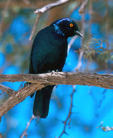Lamprotornis nitens - Red-shouldered Glossy-Starling