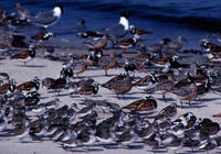 ...er), Calidris canutus (red knot), Arenaria interpres (ruddy turnstone), Calidris alba (sanderlin...