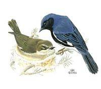 Image of: Dendroica caerulescens (black-throated blue warbler)