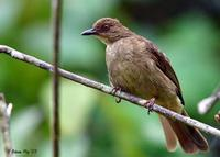 Image of: Pycnonotus brunneus (red-eyed bulbul)