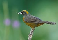 Dusky-faced Tanager (Mitrospingus cassinii) photo