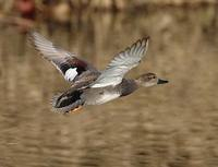 Gadwall (Anas strepera) photo