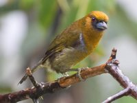 Prong-billed Barbet - Semnornis frantzii