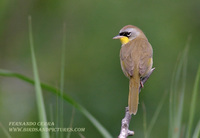 Gray-crowned Yellowthroat - Geothlypis poliocephala