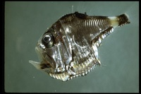 : Argyropelecus sp.; Hatchetfish