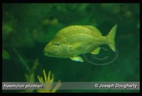 : Haemulon plumieri; French Grunt