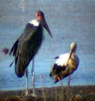 Marabou & White Stork - Leptoptilos crumeniferus and Ciconia ciconia - Do