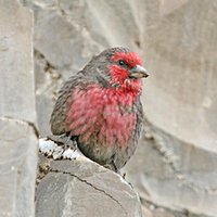 Red-breasted Rosefinch