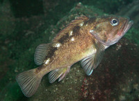 Sebastes capensis, False jacopever: fisheries