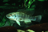 Alcolapia grahami, : fisheries, aquarium
