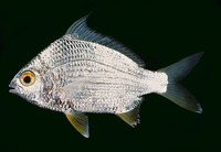 Gerres erythrourus, Deep-bodied mojarra: fisheries
