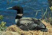 Gavia immer - Great Northern Diver