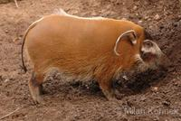 Potamochoerus porcus - Red River Hog