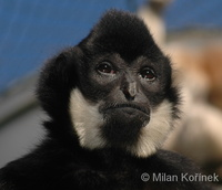Hylobates gabriellae - Yellow-cheeked Gibbon