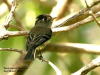 Black-capped Flycatcher - Empidonax atriceps