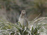 South Georgia Pipit - Anthus antarcticus