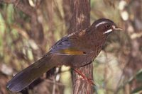 White-whiskered Laughingthrush - Garrulax morrisonianus