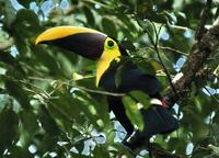 Chestnut-mandibled Toucan tail-end