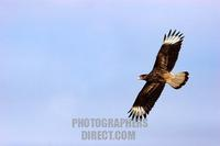 Carancho , Carrion Hawk flying wing spread Patagonia Chile stock photo