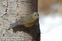 Fig. 6. Red-flanked Bluetail : 유리딱새