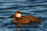 black scoter - female - black scoter - Melanitta nigra