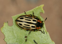 : Chrysomela scripta; Cottonwood Leaf Beetle