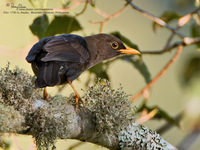 Island Thrush Scientific name - Turdus poliocephalus
