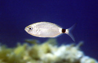 Oblada melanura, Saddled seabream: fisheries, gamefish