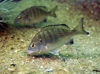 Acanthopagrus schlegelii schlegelii, Black porgy: fisheries, aquaculture, gamefish