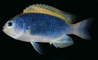 Chrysiptera flavipinnis, Yellowfin damselfish: aquarium