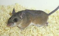 Image of: Peromyscus mexicanus (Mexican deer mouse)