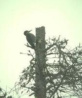 Image of: Picoides arcticus (black-backed woodpecker)