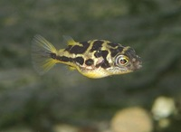Carinotetraodon travancoricus - Malabar Pufferfish
