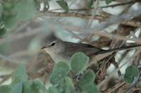 Subdesert Brush-Warbler (Nesillas lantzii) photo
