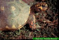 Jabuti, Red-footed tortoise (Geochelone carbonaria)