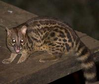 Photo of a large spotted genet Genetta Tigrina