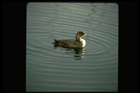 : Gavia immer; Common Loon
