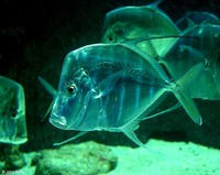 : Selene vomer; Lookdown Fish