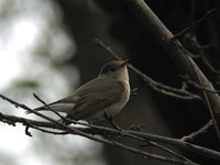 Ficedula parva Red-breasted Flycatcher オジロビタキ