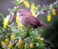 Spotted Bush-Warbler Bradypterus thoracicus