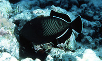 Melichthys indicus, Indian triggerfish: aquarium